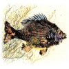 Gyotaku, The Art of the Fish Print